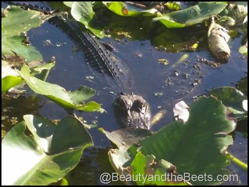 Orlando Airboat Tours Beauty and the Beets (42)