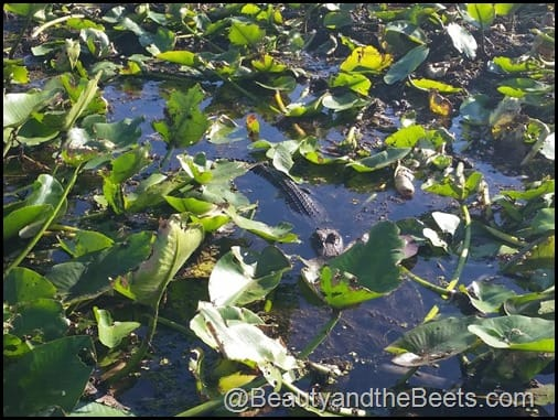 Orlando Airboat Tours Beauty and the Beets (48)