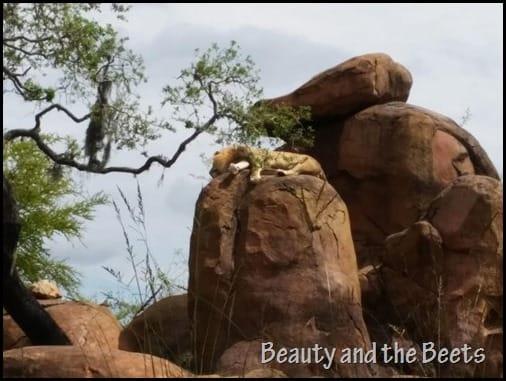 Lion Disney Animal Kingdom Wild Safari Beauty and the Beets
