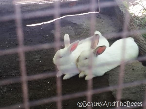 Magnolia Plantation bunnies Beauty and the Beets