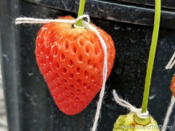 Florida Strawberry #FLStrawberry GCREC Beauty and the Beets