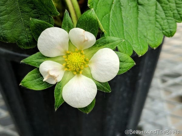 Strawberry Flower GCREC Beauty and the Beets