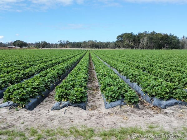 Strawberry Station Plant City Beauty and the Beets