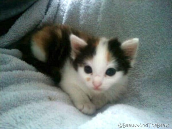 a tiny calico kitten with very large round blue eyes on a blue blanket