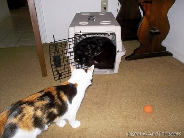 calico kitten looking in an open cat carrier at two cuddled together black cats