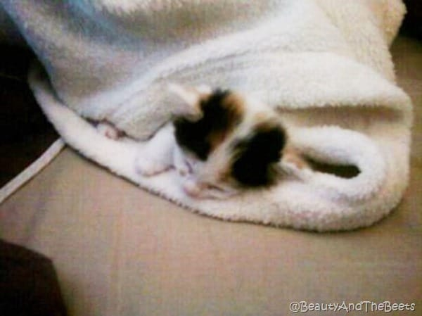 the small head of a calico kitten peeping out from a white blanket