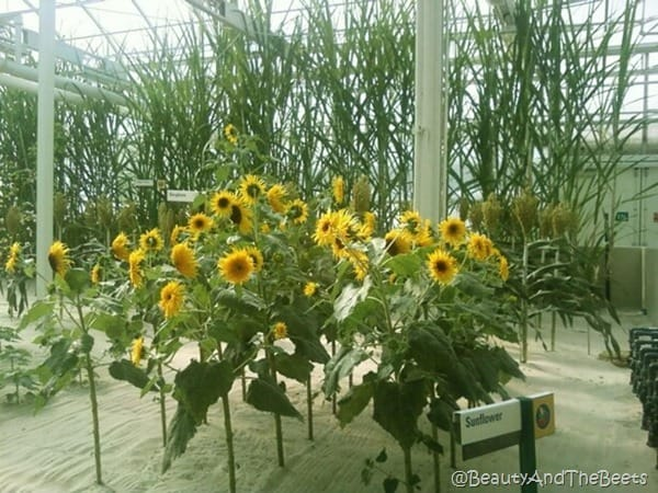 big sunflowers growing tall in white sand inside a greenhouse