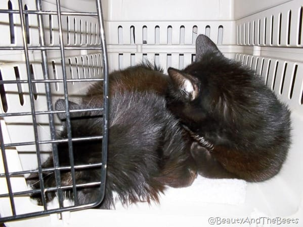 two furry black cats cuddled together in an open cat carrier