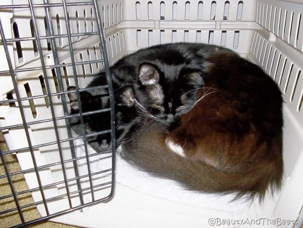 2 black cats cuddled in an open cat carrier, lookimng like two heads and one body