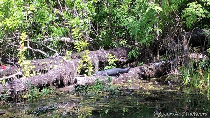 sunning gator Silver Springs State Park gator sun Beauty and the Beets