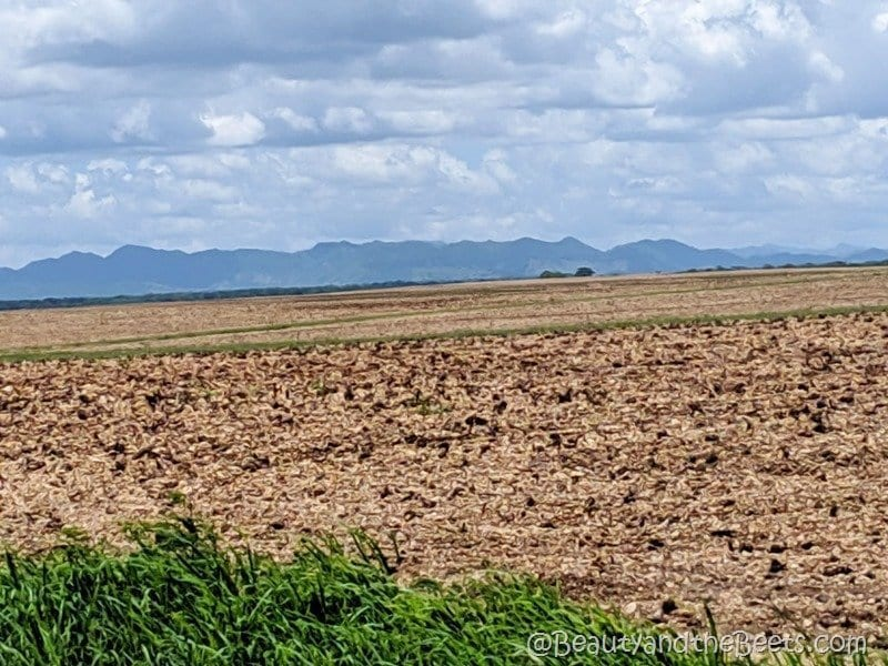 Harvested sugar cane fields Dominican Republic Beauty and the Beets