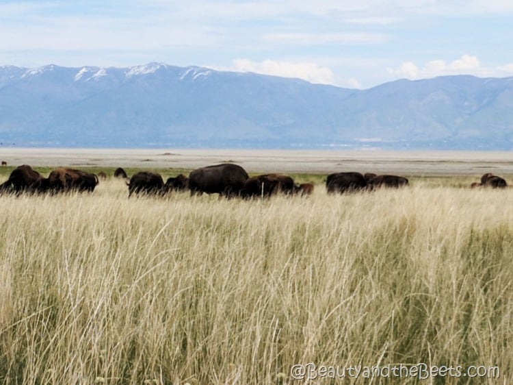 American Bison Antelope Island Fielding Garr Beauty and the Beets