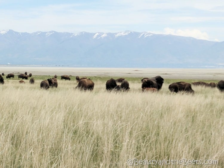 Antelope Island American Bison Beauty and the Beets