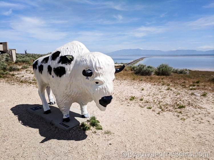 black white bison Antelope Island State Park Beauty and the Beets