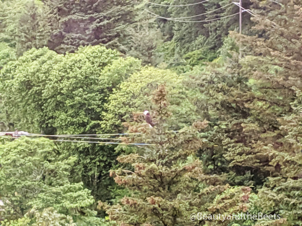 Bald eagles are spotted throughout the rain forest in Juneau, Alaska
