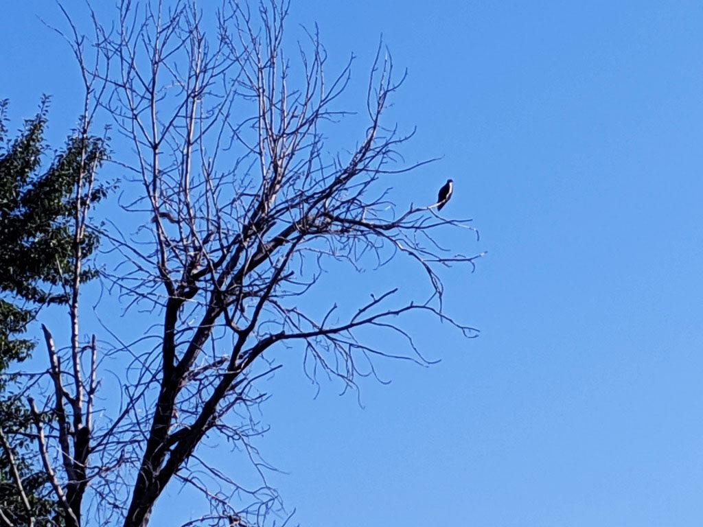 Missoula Montana bald eagle